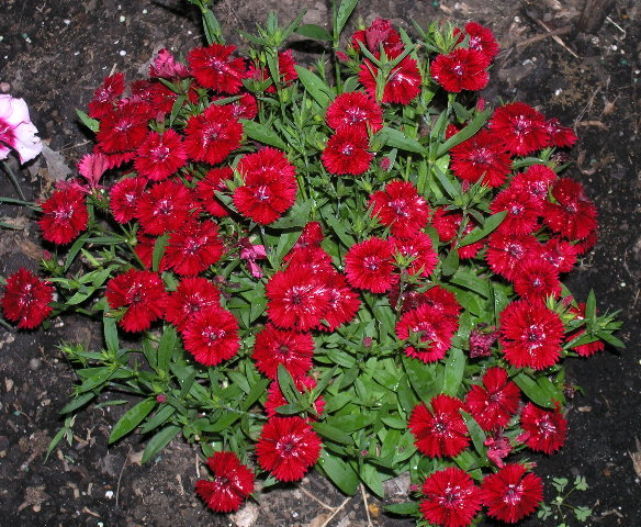 03-red-dianthus.jpg