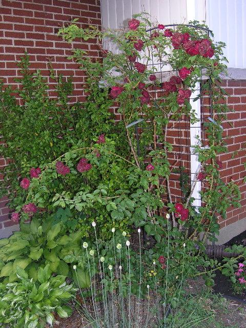 08-front-rosebush.jpg