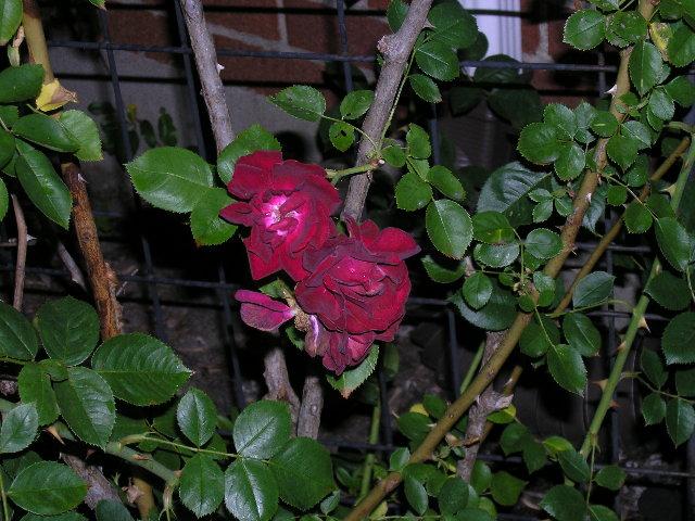09-front-rosebush.jpg