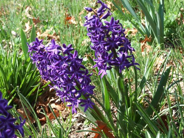 hyacinths-sm.jpg